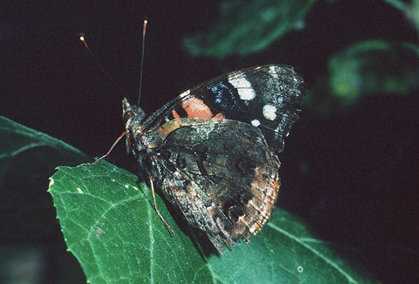 Vanessa atalanta rubria - The Red Admiral