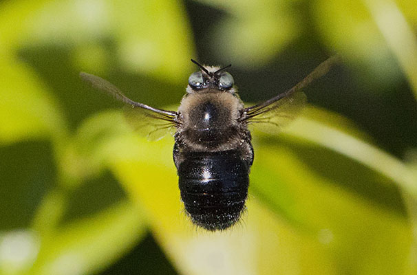 Xylocopa tabaniformis orpifex -<BR>The Mountain or Foothill Carpenter Bee