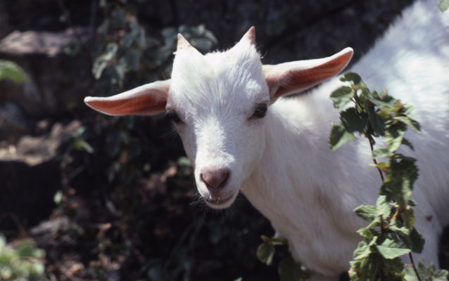 Capra aegagrus hircus - The Domesticated Goat