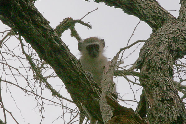 Chlorocebus pygerythrus - The Vervet Monkey
