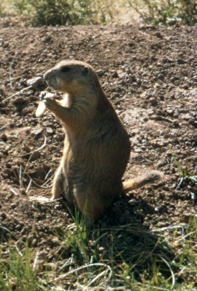 Cynomys ludovicianus - The Black-tailed Prairie Dog