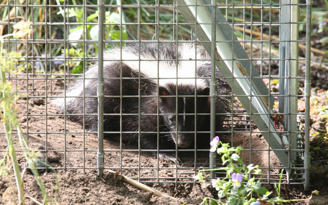Mephitis mephitis - The Striped Skunk