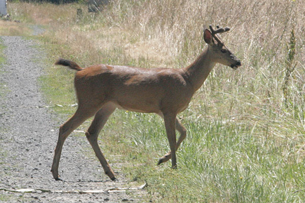 Odocoileus hemionus columbianus - The Columbia Black-tailed Deer