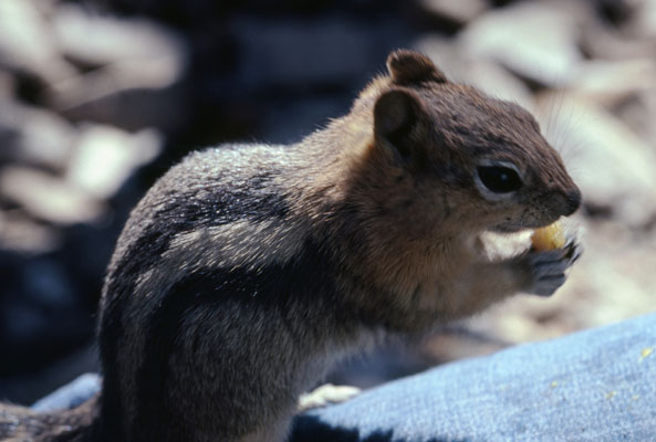 Otospermophilus beecheyi - The California Ground Squirrel