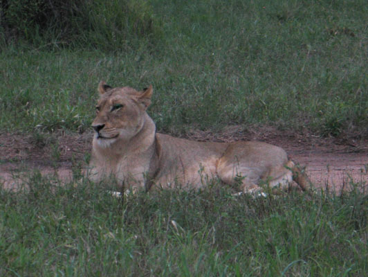Panthera leo krugeri - The Southeast African Lion