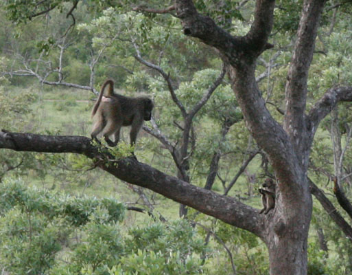 Papio ursinus griseipes - The Chacma Baboon aka Gray-footed Chacma