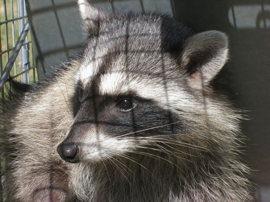 Procyo lotor - The North American Raccoon