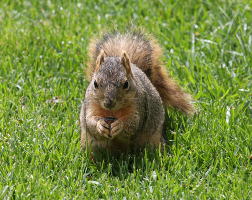 Sciurus niger - The Eastern Fox Squirrel
