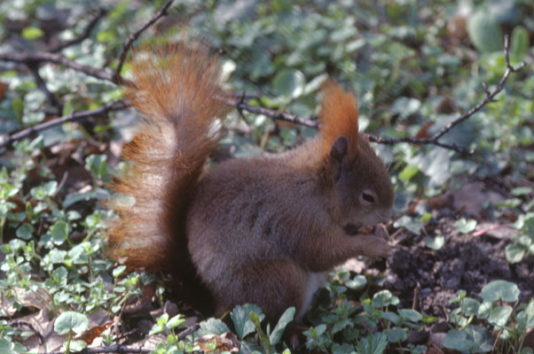 Sciurus vulgaris - The Eurasian Red Squirrel