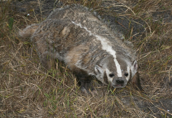 Taxidea taxus - The American Badger