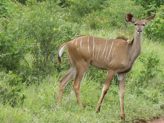 Tragelaphus strepsiceros - The Greater Kudu