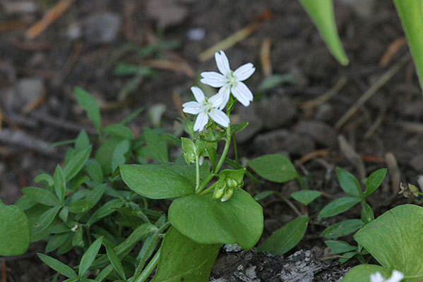 Claytonia sibirica - Candy Flower