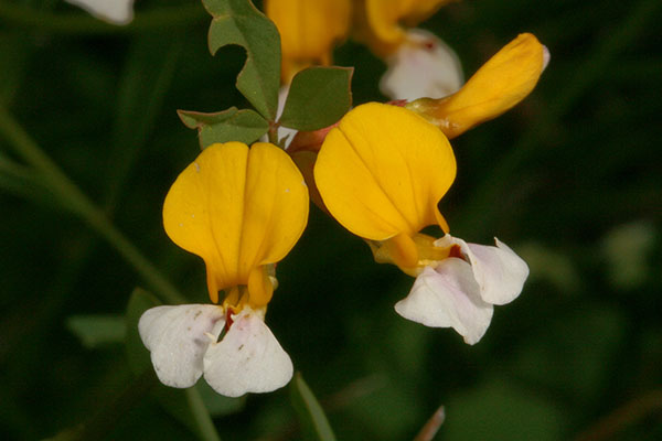 Lotus formosissimus - Seaside Bird's-foot Trefoil