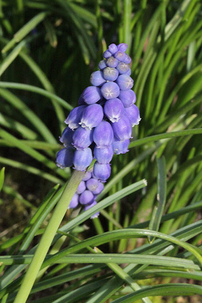 Muscari armeniacum - Grape Hyacinth