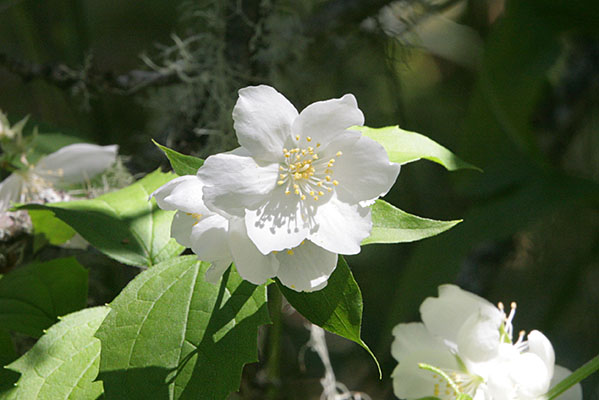 Philadelphus_lewisii - Mock Orange