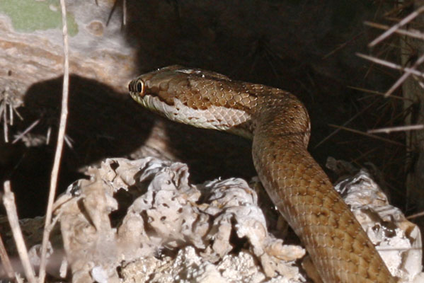 Alsophis portoricensis anegadae - The Puerto Rican Racer aka Common Snake
