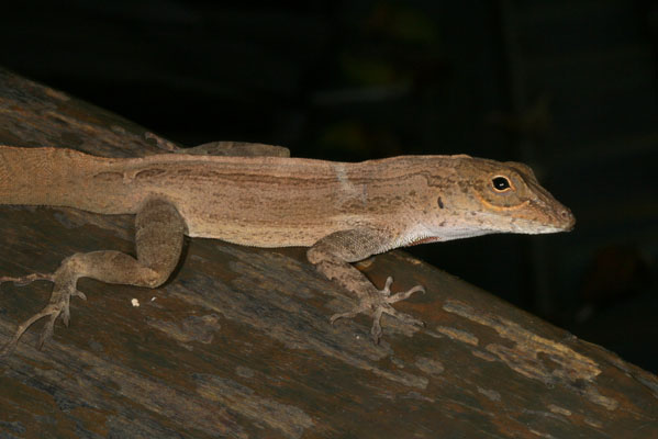 Anolis cristatellus wileyae - The Crested Anole aka Eastern Puerto Rican Crested Anole