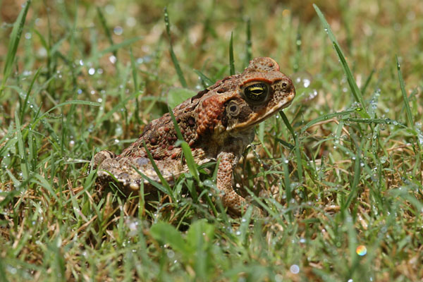 Bufo marinus - The Cane Toad