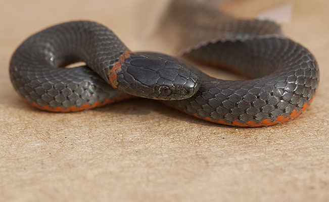 Diadophis punctatus amabilis - The Pacific Ringneck Snake aka Pacific Ring-necked Snake