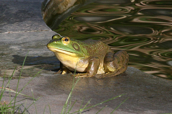 Lithobates catesbelanus - The American Bullfrog