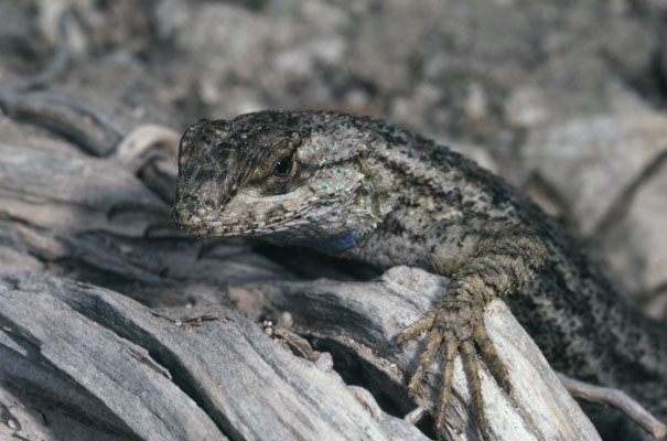 Sceloporus occidentalis longipes - The Western Fence Lizard aka Great Basin Fence Lizard