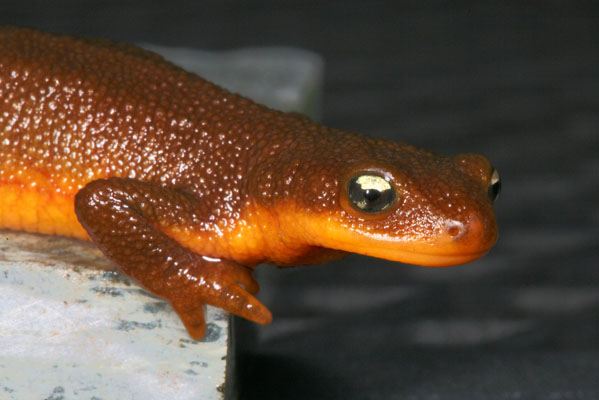 Taricha granulosa granulosa - The Rough-skinned Newt